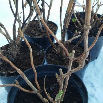 Laikas žadinti didžialapes hortenzijas