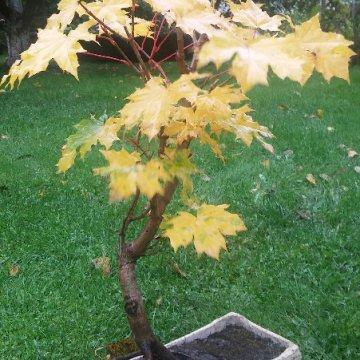 Spalvingais lapais apdovanojantis bonsai – klevas