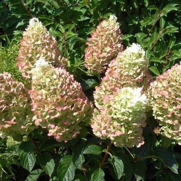 Šluotelinių hortenzijų sodinimo metas - ankstyvas pavasaris