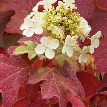Ąžuolialapės hortenzijos iš arčiau