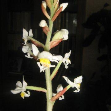 Per Kalėdas pražystanti orchidėja Ludizija