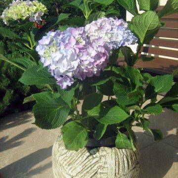 Didžialapės hortenzijos priežiūra ir auginimas
