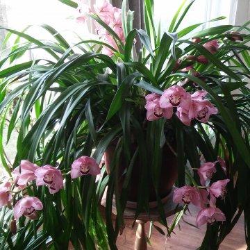 Orchidėja cimbidis - pilkos žiemos papuošalas