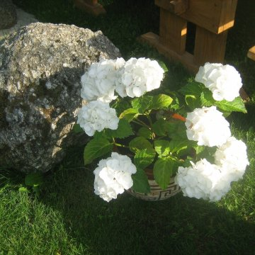 Didžialapė hortenzija