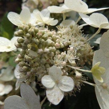 "Šluotelinė hortenzija ""Unique"