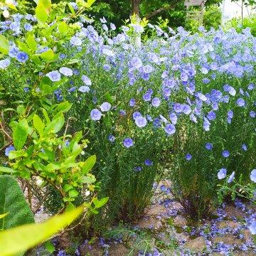 Mėlynos spalvos gėlynui - daugiamečiai linai