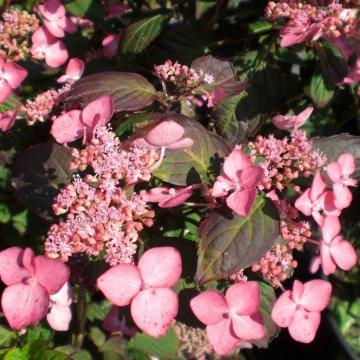 Raudonais lapais išsiskirianti krūminė/kalninė hortenzija