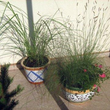 Miskantai – daugiamečiai žoliniai augalai