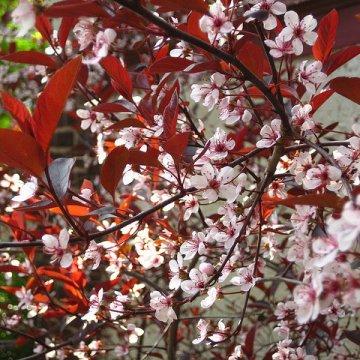 Raudonlapė vyšnia
