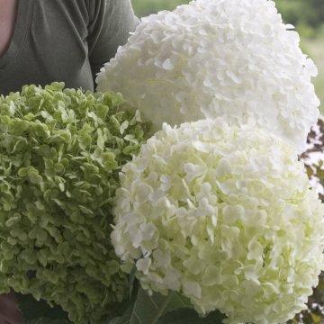 Šviesialapės hortenzijos grožis