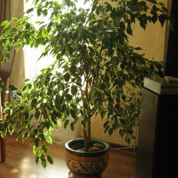 Nuo kambarinio milžino iki dailaus bonsai – Benjamino fikuso variacijos