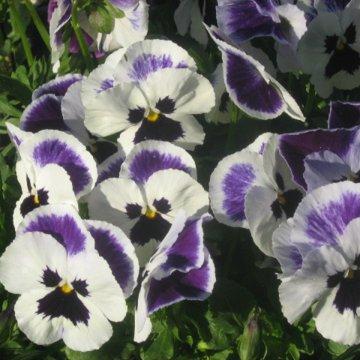 Su pavasarinėmis gėlėmis derančios našlaitės