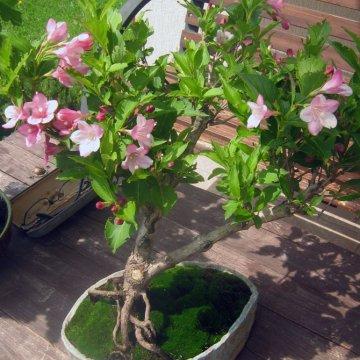 Dar vienas pražydęs bonsai  – veigelė