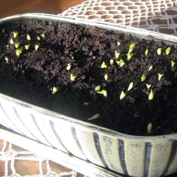 Eksperimentas su kaktusais