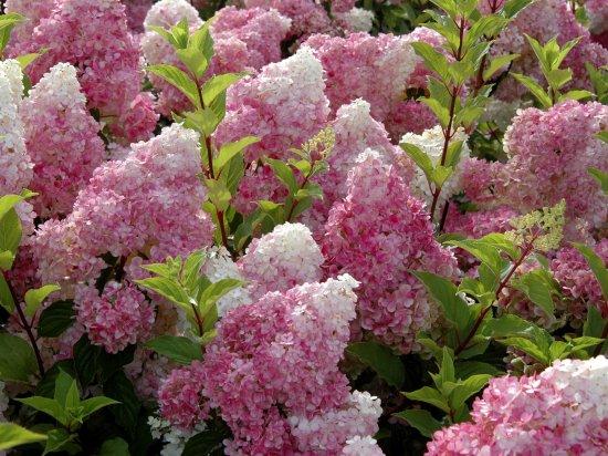 """Šluotelinė hortenzija  """"Renhy"""" (Vanille Fraise)"""