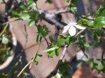 Dygioji slyva (bonsai)