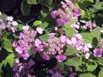 Kalninė hortenzija 'Santjago'