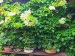 "Laipiojanti hortenzija ""Mirranda"""