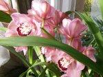 Orchidėja cimbidis