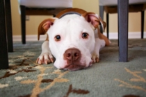 Hund teppich