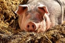 Schwein Massentierhaltung