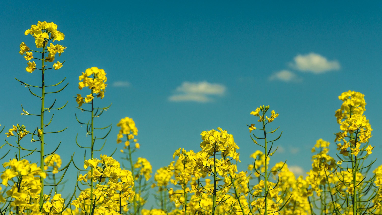 Raps sieht nicht nur hübsch aus, wenn er strahlend gelb blüht, sondern ist auch als Öl ein gesunde Alternative zu tierischen Fetten. Im Vergleich zu Olivenöl ist Rapsöl mit 4 bis 6 Euro pro Liter geradezu billig.