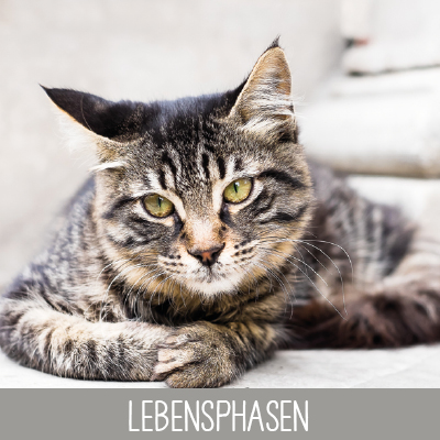 Lebensphasen Senior Katze