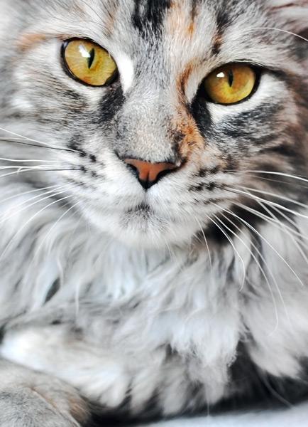 Rasseportraits im zookauf-Themenkatalog Katze