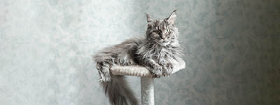 Große Katzenrassen