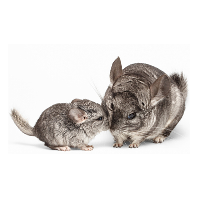 Chinchilla Mutter und Baby