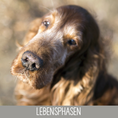 Lebensphasen Senior Hund