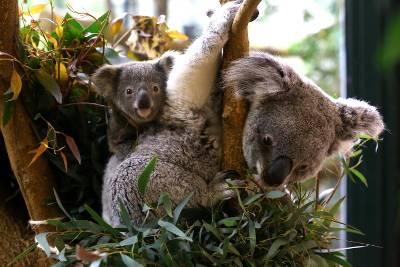 Koala - ZooParc de Beauval