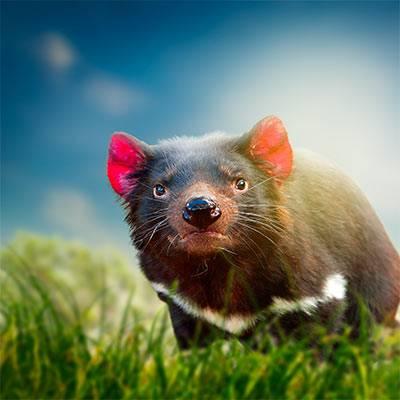 Les diables de Tasmanie - ZooParc de Beauval