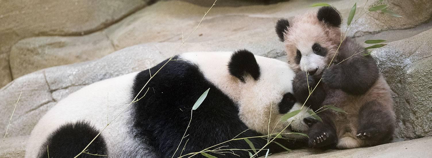 Yuan Meng, bébé panda né à Beauval - ZooParc de Beauval