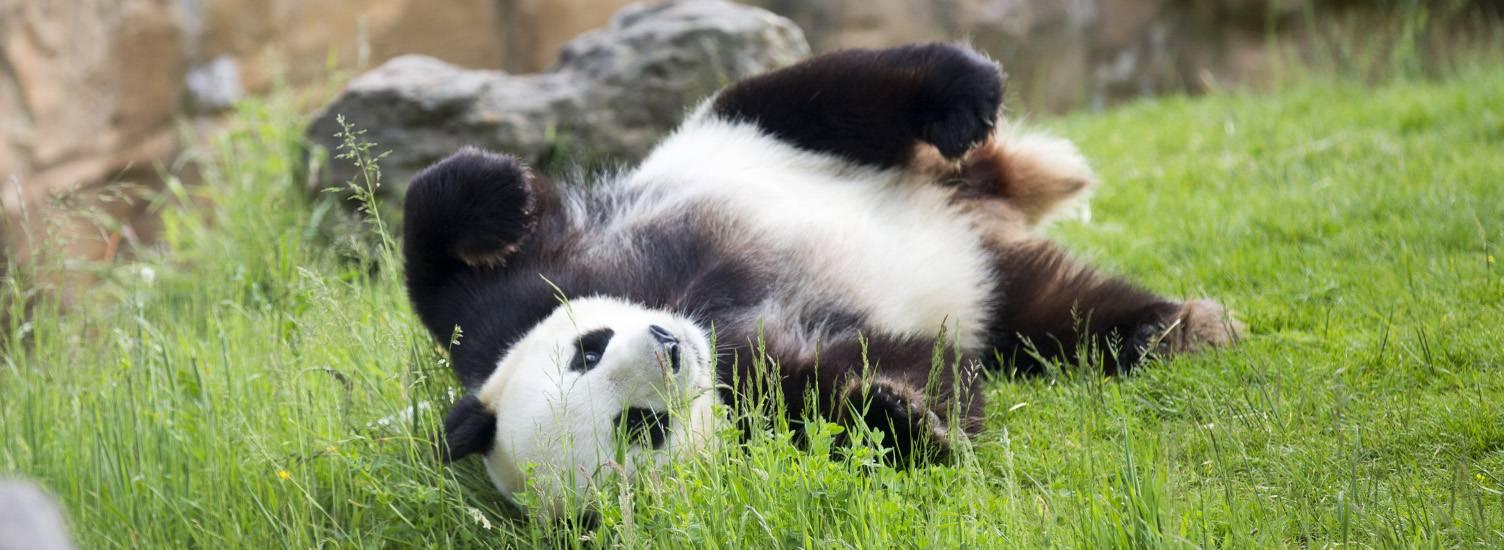 Les pandas - ZooParc de Beauval