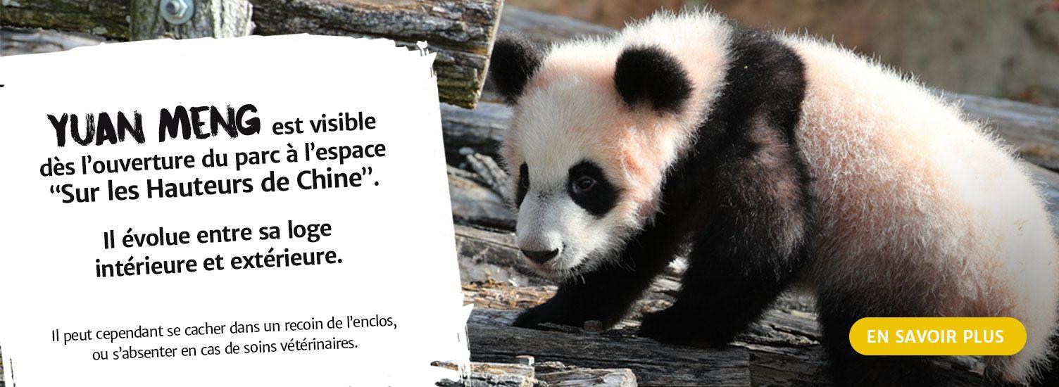 Bébé panda né à Beauval - ZooParc de Beauval