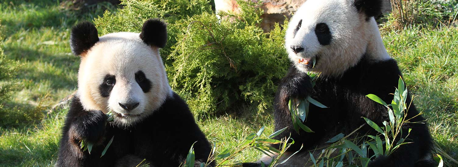 Team Pandas - ZooParc de Beauval