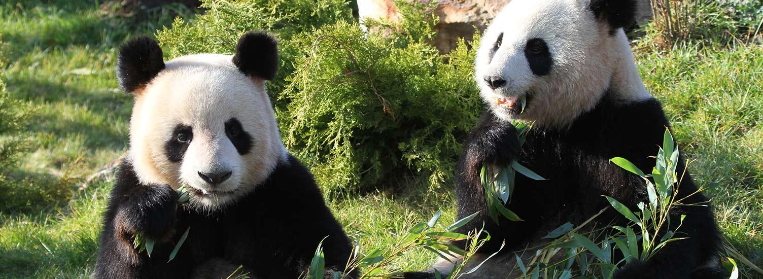 The pandas team - ZooParc de Beauval