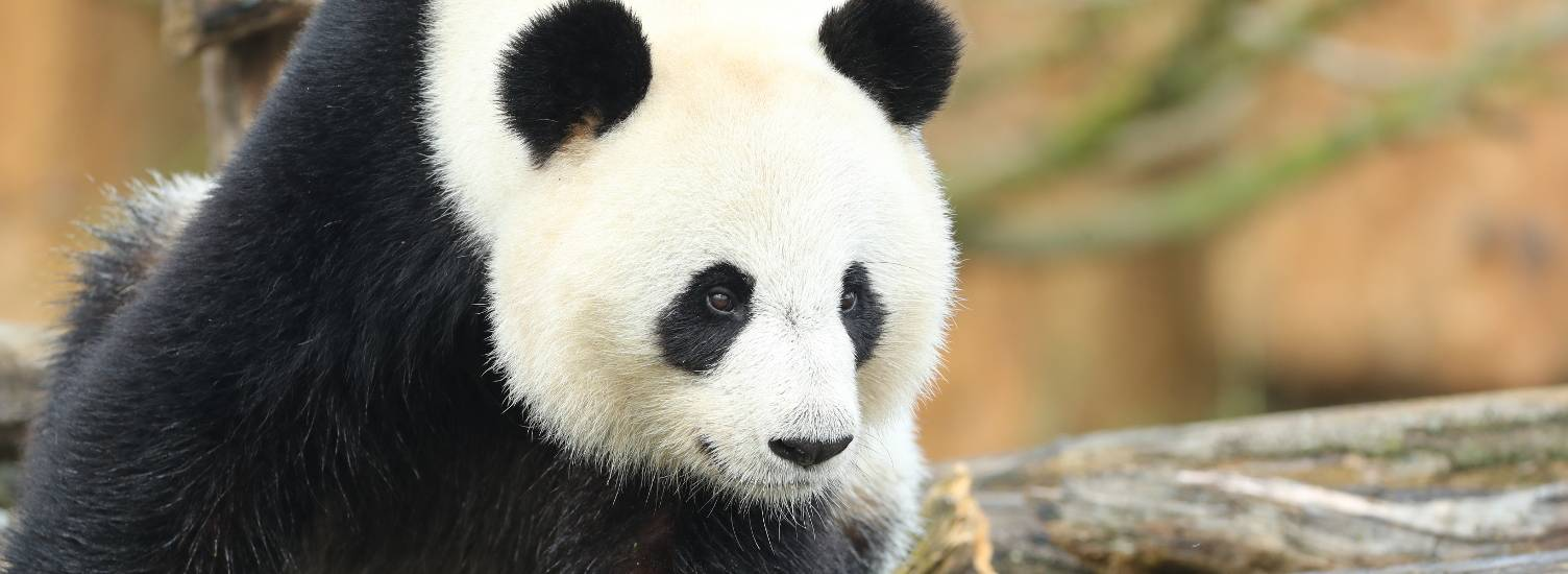 Huan Huan, giant female, unique in France - femelle panda - ZooParc de Beauval