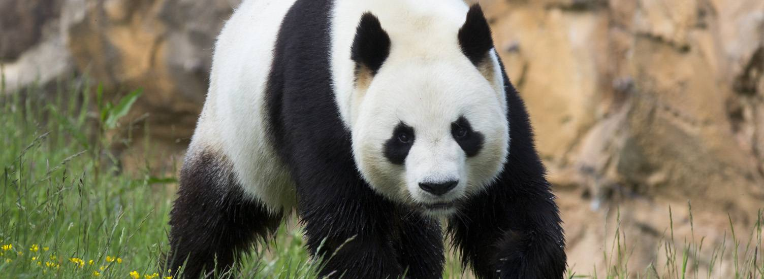 Yuan Zi, male giant panda, unique in France - mâle panda - ZooParc de Beauval