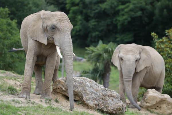 Éléphants - nouveauté 2017 - ZooParc de Beauval