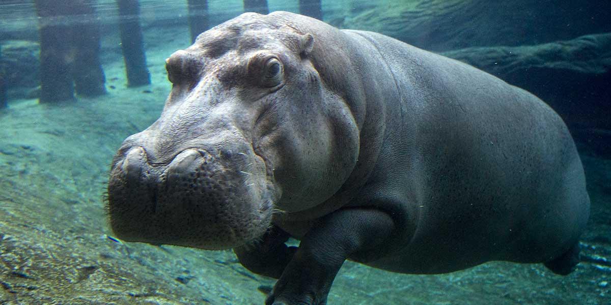 Hippopotames - Nouveauté 2016 - ZooParc de Beauval