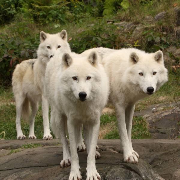 Les loups arctiques - nouveauté 2018 - ZooParc de Beauval