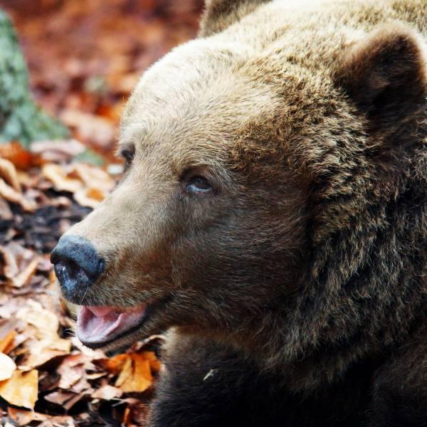 Nos ours bruns vont déménager ! - nouveauté 2018 - ZooParc de Beauval