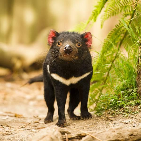 Les diables de Tasmanie - Nouveauté 2019 - ZooParc de Beauval