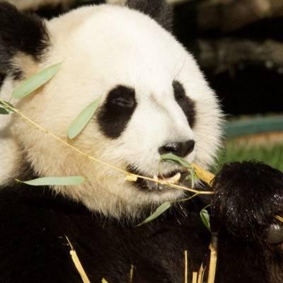 Actu panda - ZooParc de Beauval