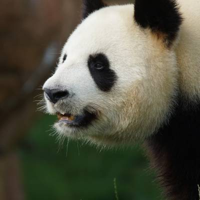 Protection des pandas - ZooParc de Beauval