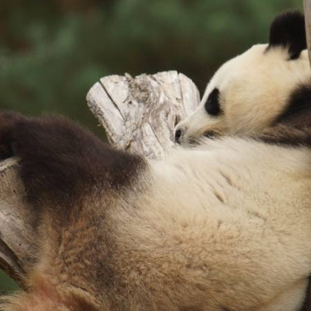La reproduction des pandas de Beauval - Zooparc de Beauval