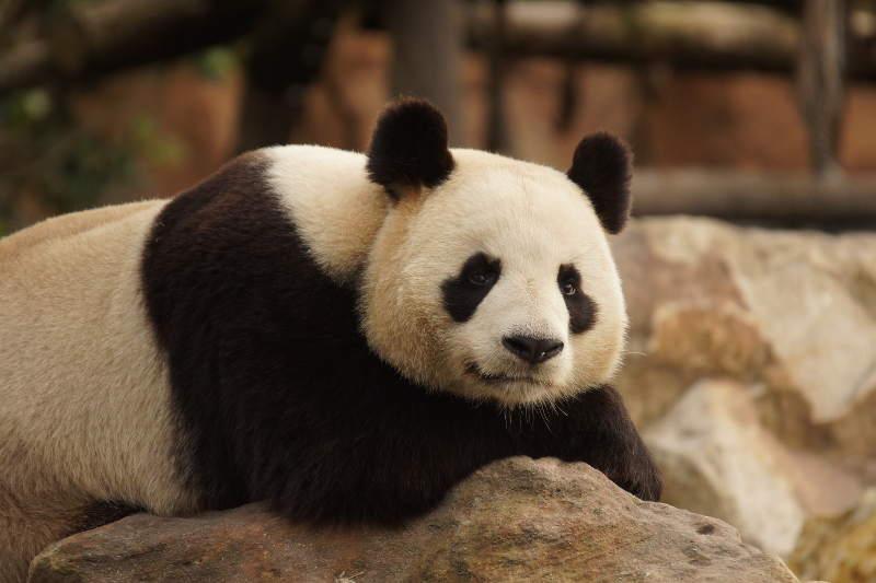 Pourquoi des pandas ? - ZooParc de Beauval