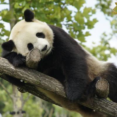 Une journée type de Madame Huan Huan - Huan Huan - Panda géant - ZooParc de Beauval